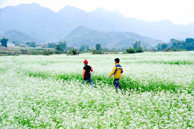 Tháng 10 - tháng 12: Mùa Hoa Cải trắng Mộc Châu.