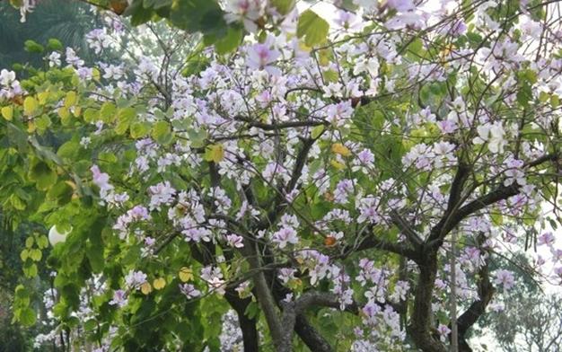 Du khách sẽ thấy nhiều hoa ban nở hơn trên đường lên Sơn La