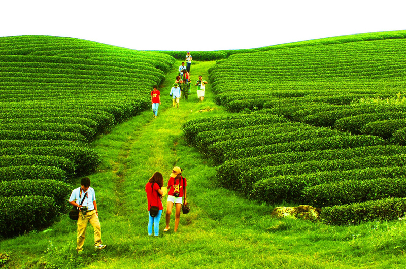 Đồi chè là nơi thu hút du khách đến chụp ảnh nhiều nhất ở Mộc Châu.