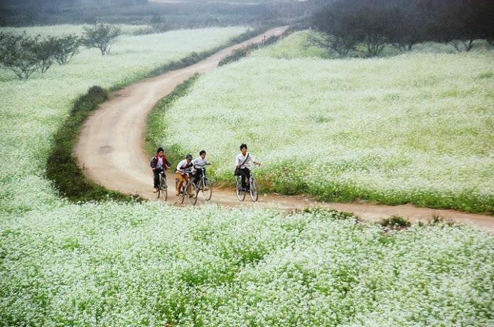 Hai bên đường vào Thông Cuông có rất nhiều thảm hoa cải trắng rất đẹp.