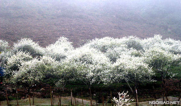 Để ngắm được hoa mận, bạn nên đến Mộc Châu vào những ngày cuối năm và đầu năm mới
