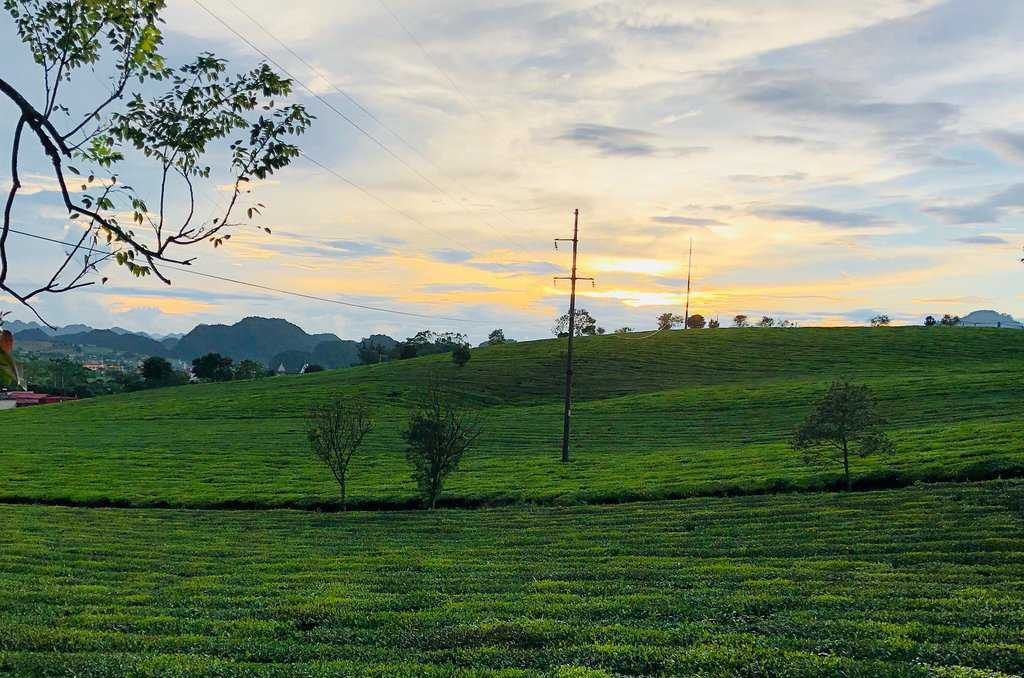 Những đồi chè xanh mướt quanh năm là biểu tượng du lịch của Mộc Châu.