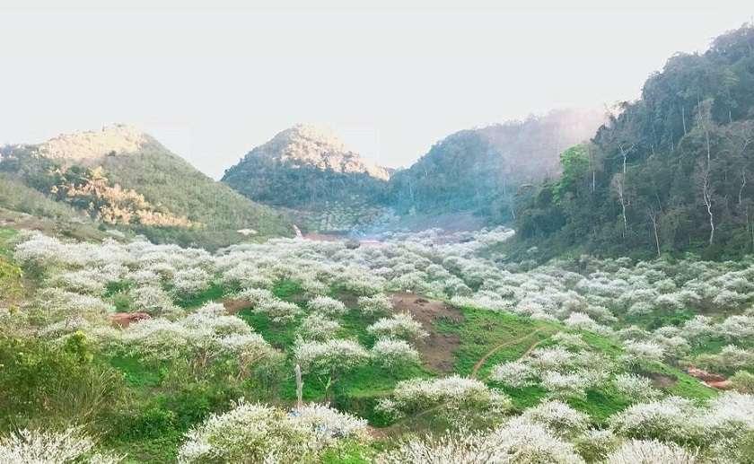 Hoa mận nở bung khắp Mộc Châu vào mùa xuân.