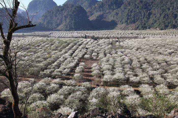 Hoa mận nở trắng đồi ở thung lũng Nà Ka - Tân Lập.