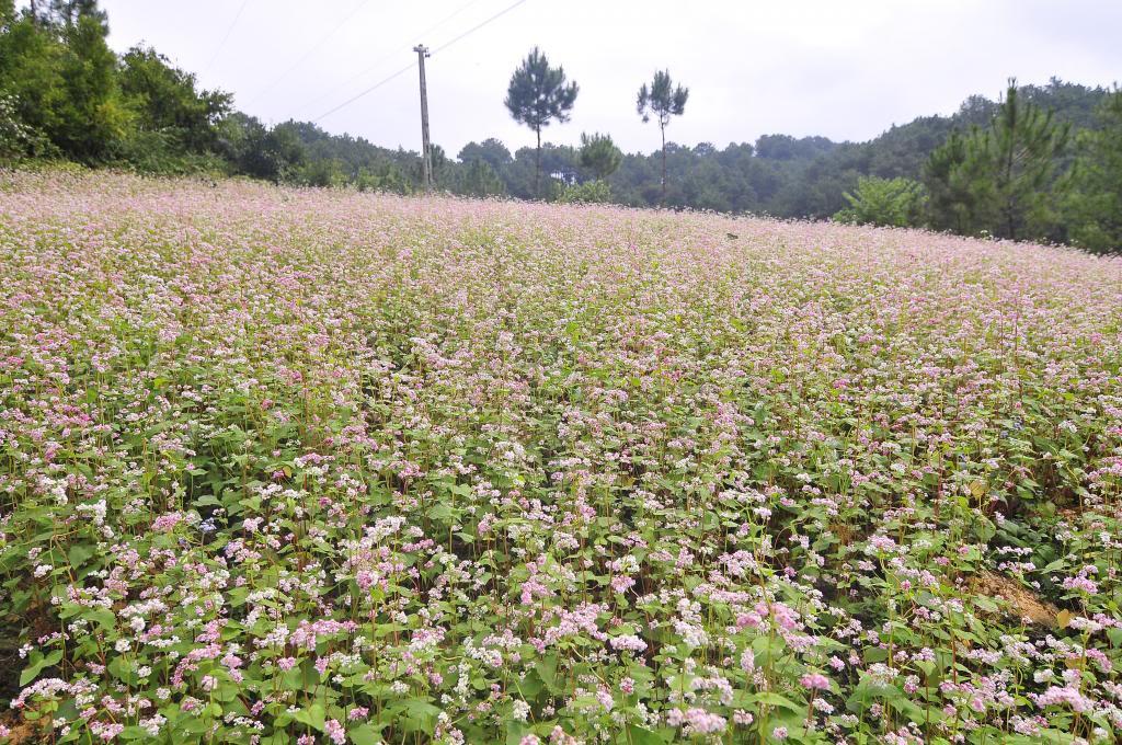 Vườn hoa Tam giác mạch ở Lóng Luông.