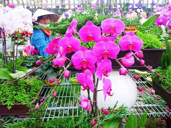 Những dàn hoa Phong Lan tím thật đẹp