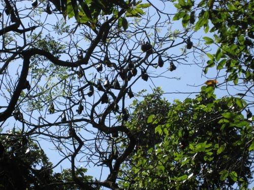 Những con dơi treo mình trên cành cây cao vào ban ngày