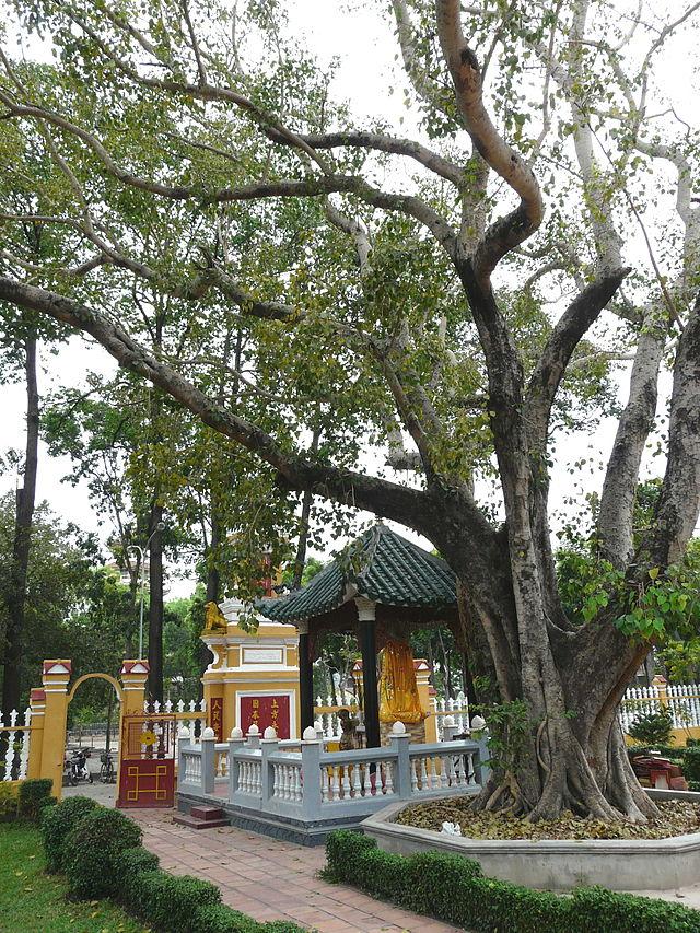 Cây già che phủ mái chùa