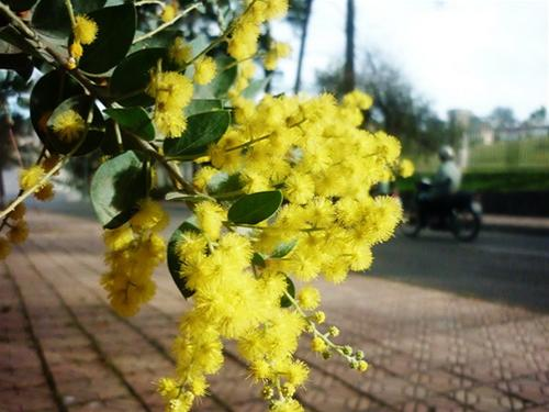 http://media.dulich24.com.vn/diemden/con-duong-mimosa-4526/con-duong-mimosa-4.jpeg