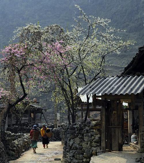 Hoa đào, hoa mận đã bung nở khắp muôn nhà