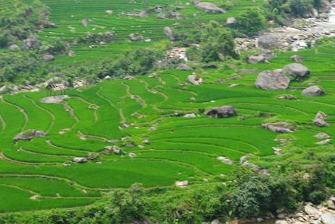Những mảng lúa xanh non làm mát mắt du khách
