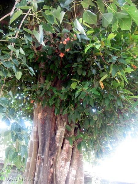 """Những cây """"cổ thụ"""" trong Cung"""