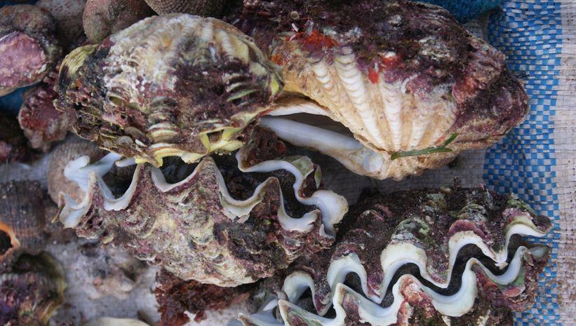 Đặc sản Lý sơn - Ốc tượng là món hải sản nổi tiếng nhất ở Lý Sơn.