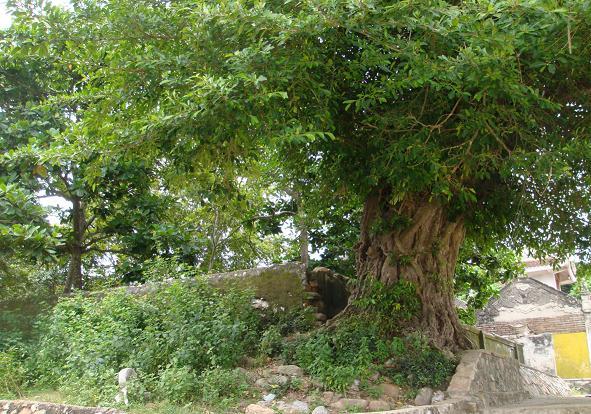Cây Đa cổ thụ trong đền