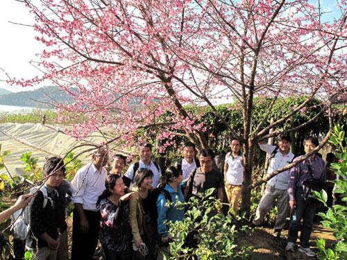 Hoa anh đào ở Điện Biên