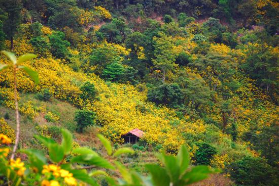 Điện Biên - mùa hoa dã quỳ