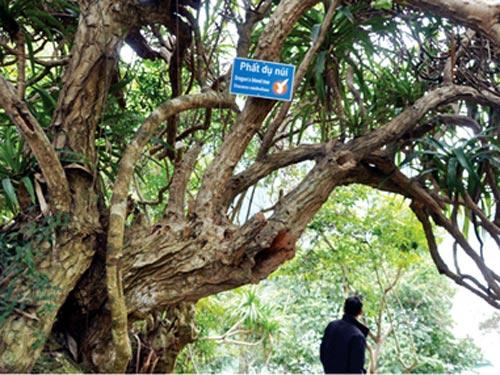 cây phất dụ Hạ Long cổ thụ
