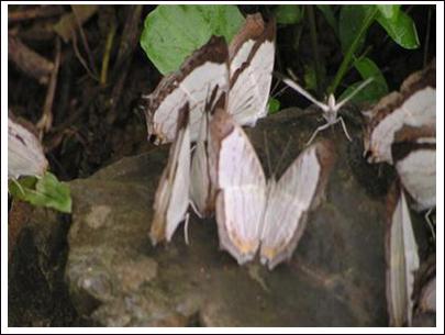 Bướm ở Vườn quốc gia Phong Nha-Kẻ Bàng