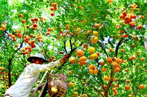 Điểm du lịch hấp dẫn: Vựa trái cây Lai Vung.
