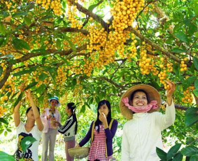 Vườn trái chín nhuộm một màu vàng rực