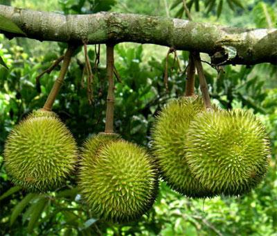 Sầu riêng là một trong những loại trái nổi tiếng của Cái Bè