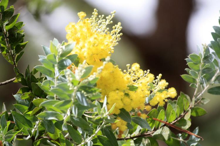 Hoa Mimoza