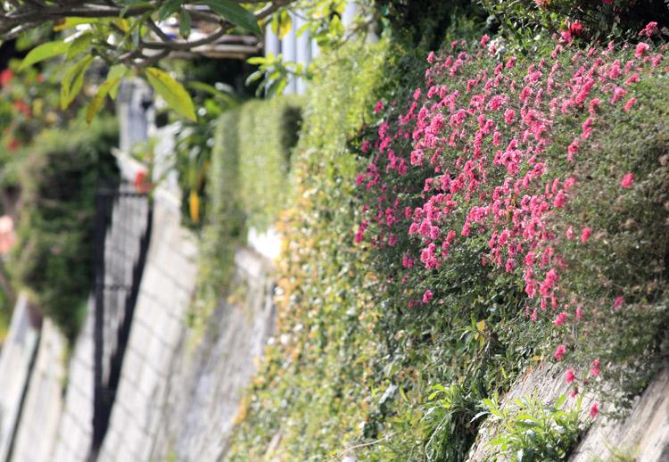 Hoa tràn sắc vỉa hè