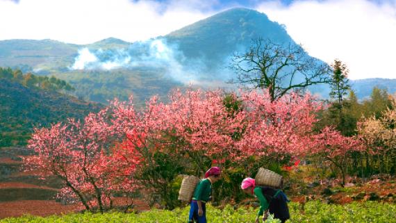 Sắc hồng của hoa đào khi xuân về trên cao nguyên đá