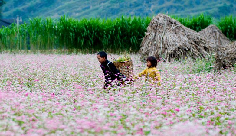 Mùa hoa tam giác mạch hà Giang.