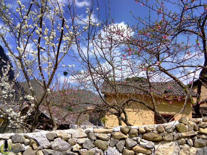 Mùa hoa mận, hoa đào ở  Hà Giang