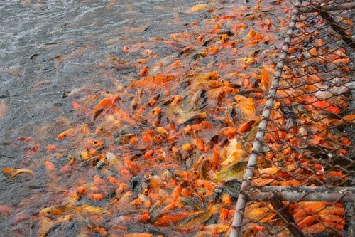 Cá chép hồ Nước Ngọt