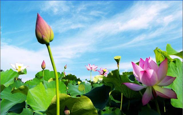 Tháng 5-6 là mùa hoa sen nở rộ trên hồ