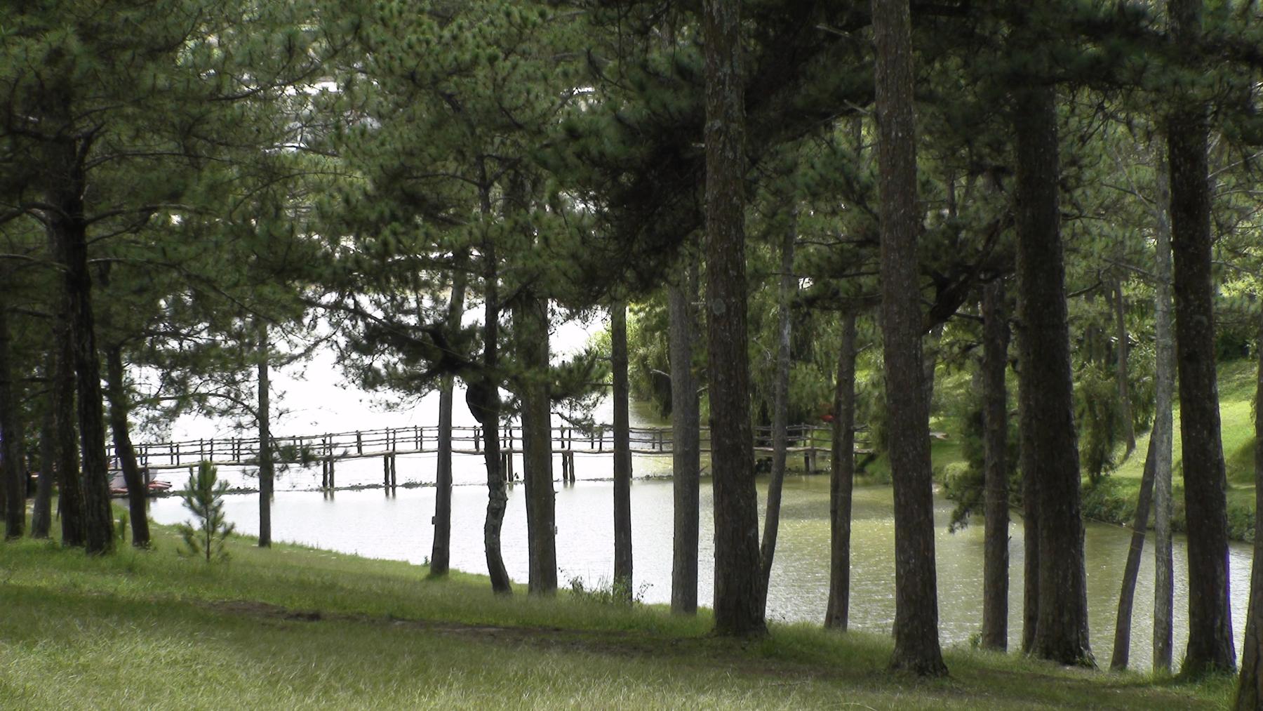 Chiếc cầu nhỏ bắc qua góc hồ bị che lấp sau những hàng thông