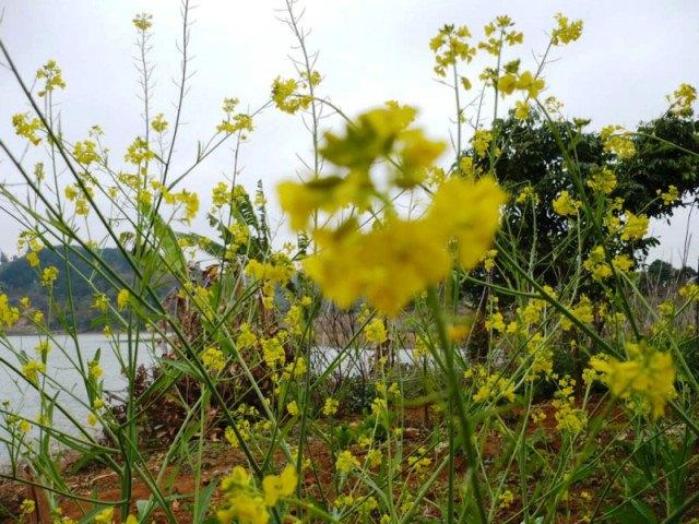 Những bông hoa cải vàng đặc trưng giản dị bên hồ