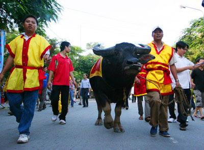 Hội chọi trâu ở Ðồ Sơn (Hải Phòng) diễn ra chính thức vào ngày 9/8 âm lịch hàng năm