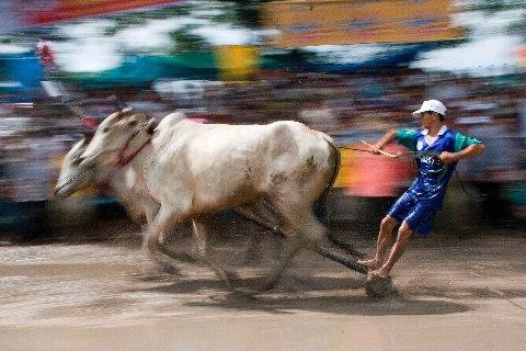 Lễ hội đua bò của người Khmer