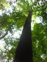 Cây cổ thụ trong khu rừng Trần Hưng Đạo.
