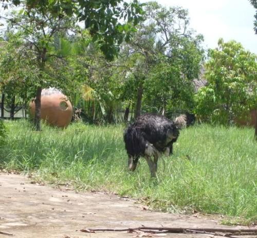Cảm giác đang ở giữa một vùng thiên nhiên thôn dã đậm chất Việt bỗng bắt gặp những chú đà điểu hiền lành ngơ ngác khá thú vị.