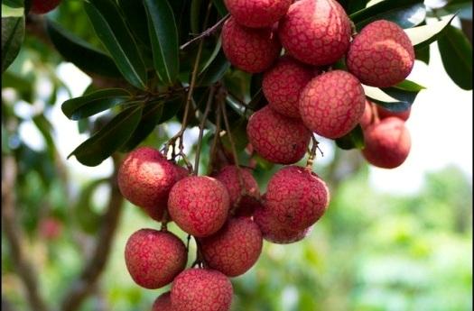 …và thưởng thức vị ngọt đậm đà của những trái vải thiều chín mọng.