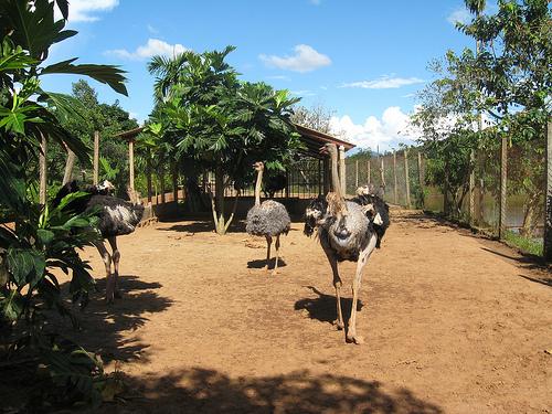 Khu Bách thú với nhiều loại động vật: Đà điểu châu Phi...