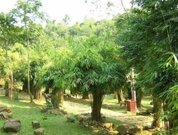Những rừng trúc xanh mướt.
