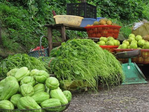 Ruộng rau su su ở Tam Đảo