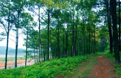 rừng thông xanh bạt ngàn