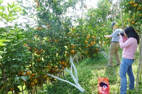 Du khách thích thú chụp ảnh vườn quýt trồng