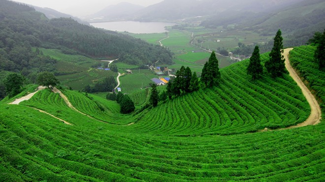 Vườn chè Bảo Lộc