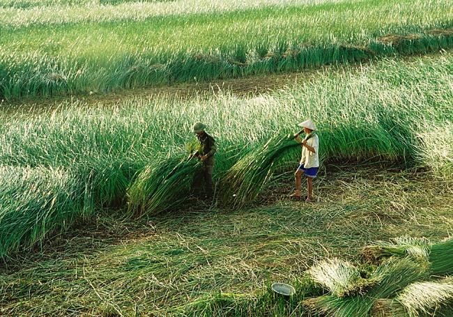 Cánh đồng cói vào mùa gặt