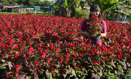 Du khách thích thú chụp ảnh với chậu hoa mào gà đỏ rực dưới nắng chiều.