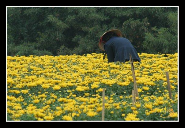 Làng hoa quanh Hà Nội