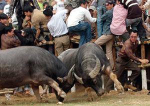 Lễ hội Chọi trâu cổ xưa nhất Việt Nam