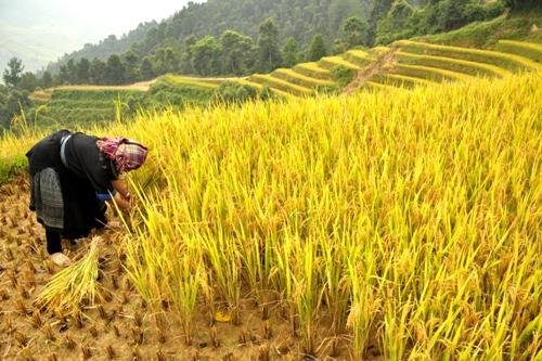Người dân đang gặt lúa ở Chế Cu Nha